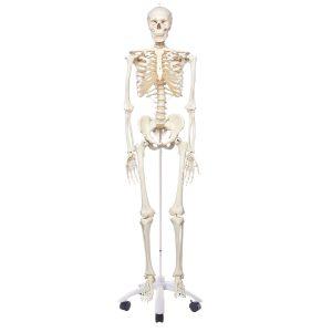 A10_01_1200_1200_Skeleton-Model-Stan